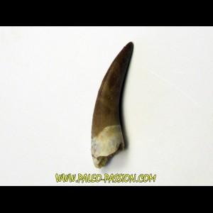 dent d'elasmosaure: zarafasaura oceanis (6)