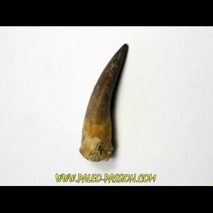 dent d'elasmosaure: zarafasaura oceanis (7)