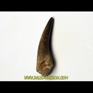 dent d'elasmosaure: zarafasaura oceanis (9)