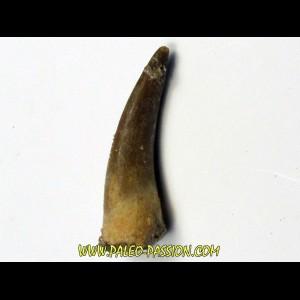 dent d'elasmosaure: zarafasaura oceanis (11)