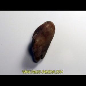 gastrolithe de dinosaure hadrosaure (1)