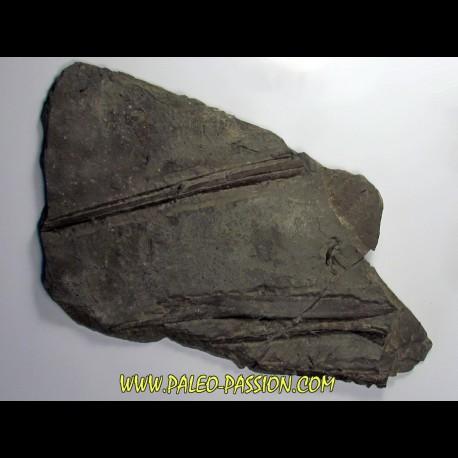 ichthyosaur muzzle : Stenopterygius
