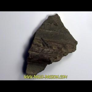 dent sur machoire d'ICHTHYOSAURE STENOPTERYGIUS