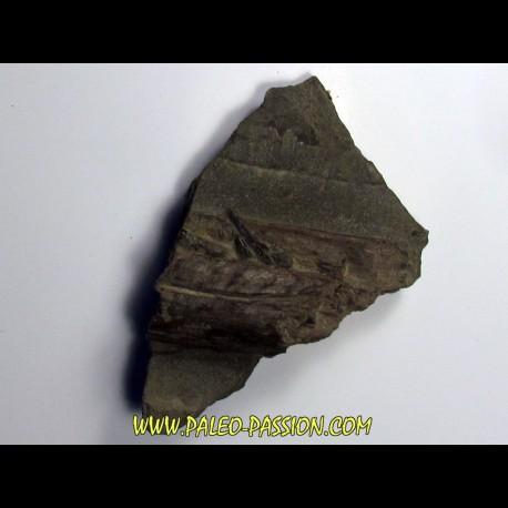 ichthyosaur tooth : Stenopterygius