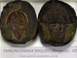 taihungshania miqueli (1)