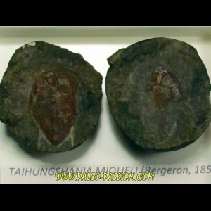 taihungshania miqueli (2)