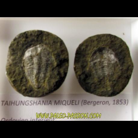 taihungshania miqueli (3)