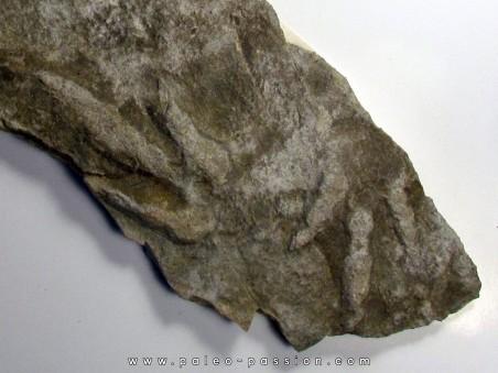 dinosaur foot print :  Coesolaurichnus grancieri