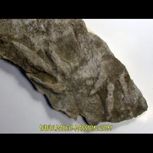 empreinte de dinosaure  Coesolaurichnus grancieri
