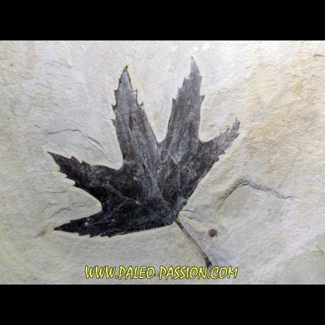 Sycamore - Platanus wyomingensis