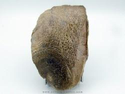 dinosaur bone Bothriospondylus