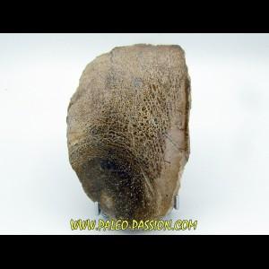 os de dinosaure Bothriospondylus