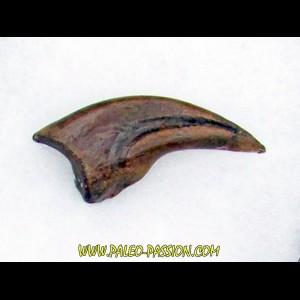 griffe de dinosaure OVIRAPTOR  Chirostenotes pergracilis