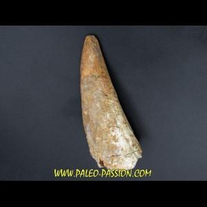 pachycephalosaure wyomingensis