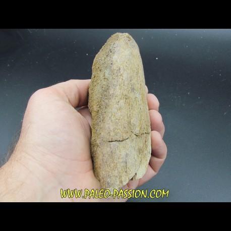 dinosaure horn: TRICERATOPS HORRIDUS