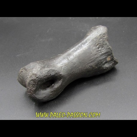 oviraptor toe preserved with traces of predation - Anzu Wyliei