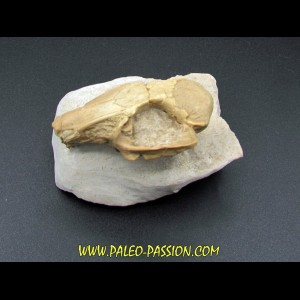 CRANE DE LAPIN palaeolagus sp.