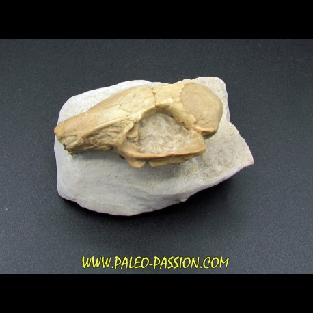 RABBIT SKULL palaeolagus sp.