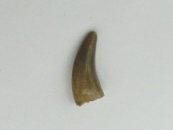 dinosaur tooth: Saurornitholestes langstoni