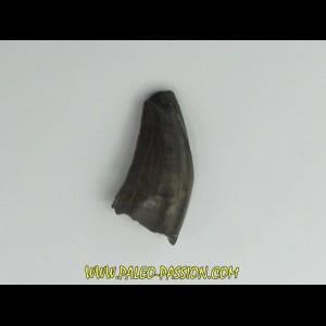 Nanotyrannus lancensis