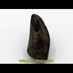 dent de : Tyrannosaurus