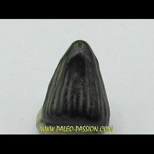 dent d'ICHTHYOSAURE:  Platypterygius sp.