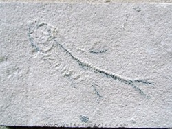 unprepared fossil fish KNIGHTIA
