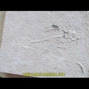 poisson fossile à dégager - PRISCACARA