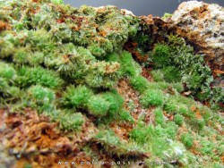 Pyromorphite  from Saint Salvy