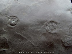 jellyfish  Medusina Atava - Permian  - Millau -  FRANCE