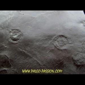 Dalle à Medusina Atava - Permien -  Millau