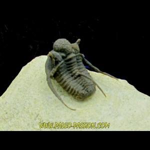cyphaspis khraidensis - Emsien -  Foum Zguid