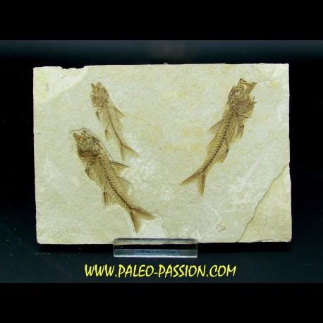 DAPALIS MACRURUS