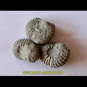 dent de SPINOSAURE AEGIPTICUS (37)