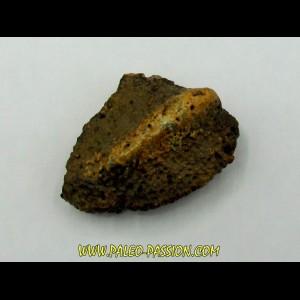 Ankylosaur scute - Alberta, CANADA