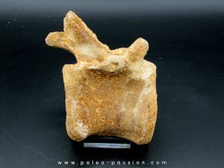 DINOSAUR vertebrae - SPINOSAURE AEGIPTICUS