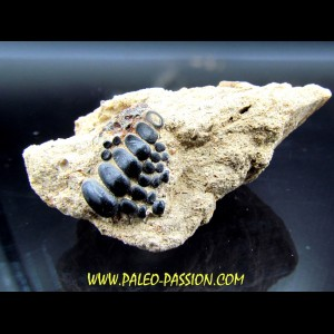 Gyrodus cuvieri - kimmeridgian - Cap D'Alprech - Boulogne sur Mer - France