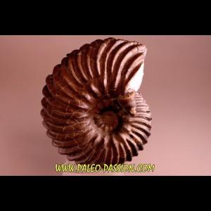 HOPLITES dentatus et trochocyathus