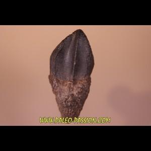 dinosaure tooth: TRICERATOPS HORRIDUS