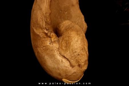Nautilus lamarckii - Eocene - Meldert, Belgium