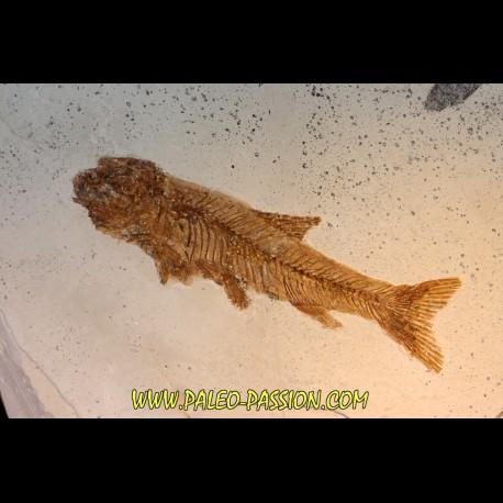 Tarsichthys macrurus - upper oligocene  Aix en Provence