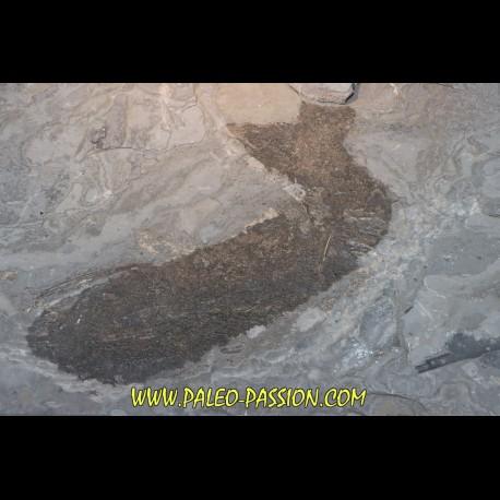 Acanthodien sp. - carboniferous - Barrat mine, Montceaux les Mines - France
