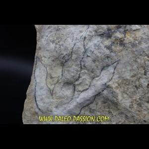 dinosaur foot print : Grallator variabilis (3)