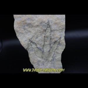 empreinte de dinosaure Grallator variabilis