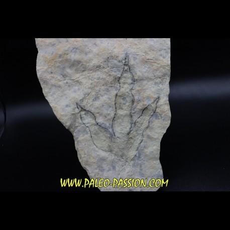 dinosaur foot print : Grallator variabilis