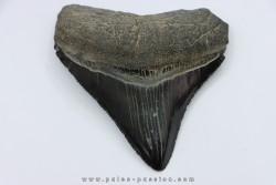 shark teeth: CARCHARODON MEGALODON