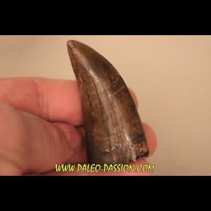dent de : Tyrannosaure rex