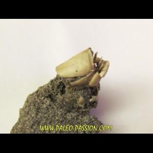 crabe RANILIA