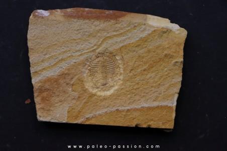 Ondontopleura (Sinespinaspis) markhami - silurian - Forbes. NSW. Austarlia