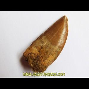 Carcharodontosaurus saharicus  (3)